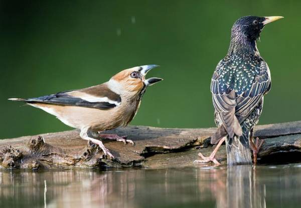 Screech Photograph - Hawfinch Being Aggressive by John Devries/science Photo Library