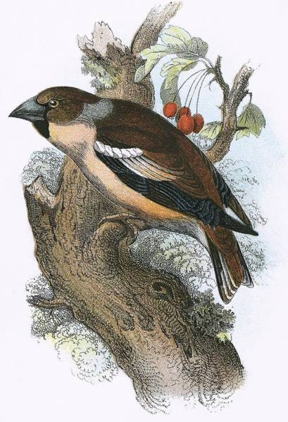 Ornithology Photograph - Hawfinch by English School