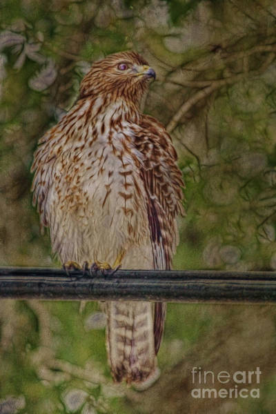Photograph - Hawk At Four Star by Deborah Benoit