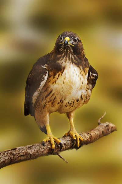 Photograph - Hawk  by Brian Cross