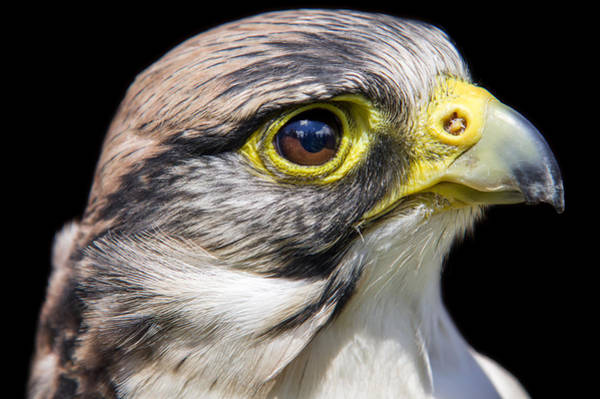 Photograph - Hawk Eyed by Ross G Strachan