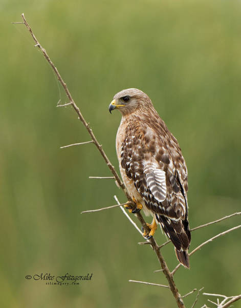 Photograph - Hawk Feather by Mike Fitzgerald
