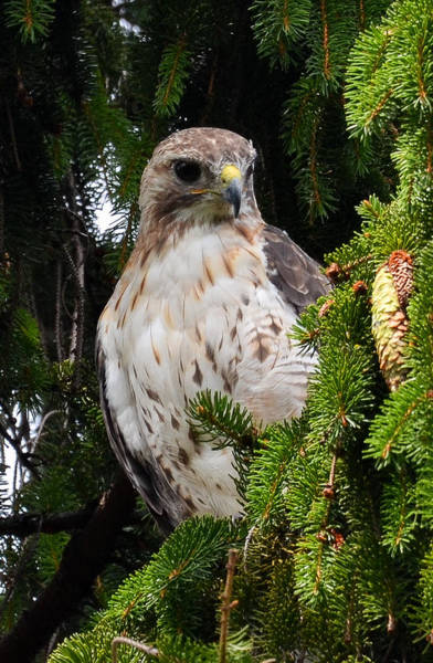 Photograph - Hawk In Pine by Michael Hubley