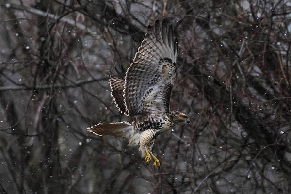 Harker Photograph - Hawk In Snow by Nathan Harker