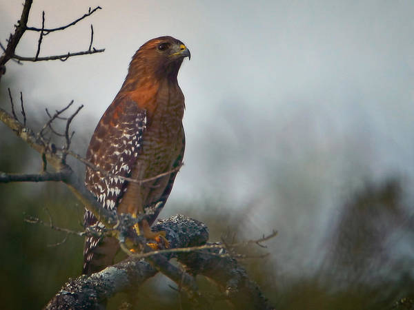 Photograph - Hawk In The Mist by John  Nickerson