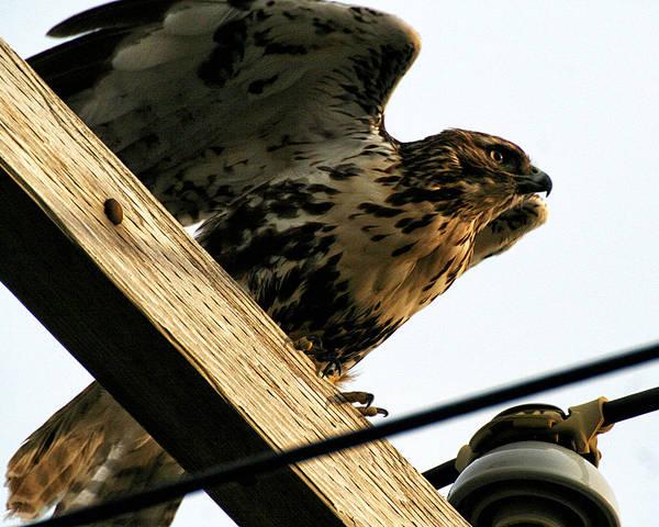 Photograph - Hawk On Telephone Pole by William Selander