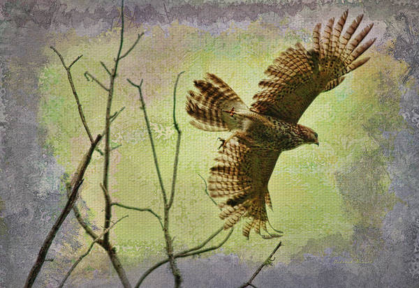 Photograph - Hawk On The Hunt by Deborah Benoit