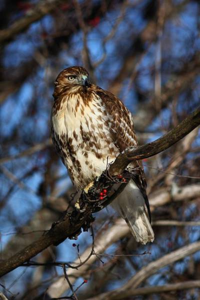 Photograph - Hawk On The Hunt by Mike Farslow