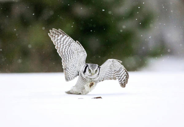 Owl In Flight Photograph - Hawk Owl Hunting by John Devries/science Photo Library