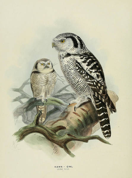 Owl Painting - Hawk Owl by Dreyer Wildlife Print Collections