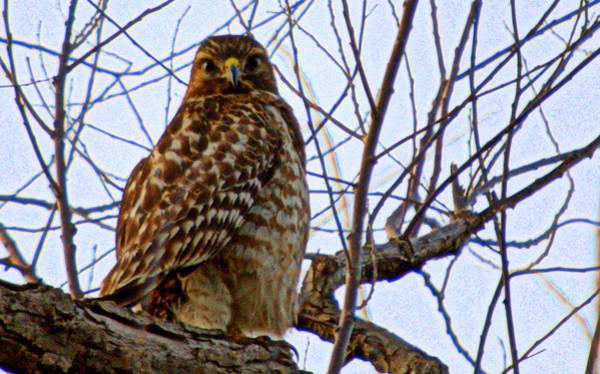 Photograph - Hawk Perched Above by AJ  Schibig