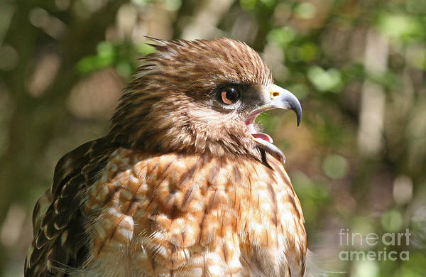 Photograph - Hawk With An Attitude by Kevin McCarthy