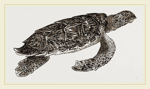 Hawk Drawing - Hawks Bill Turtle by Litz Collection