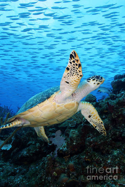 Hawksbill Turtle Photograph - Hawksbill On Eldorado by Carey Chen