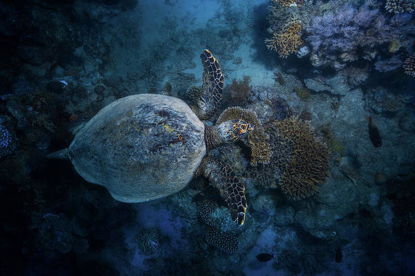 Hawksbill Turtle Photograph - Hawksbill Sea Turtle by Barathieu Gabriel