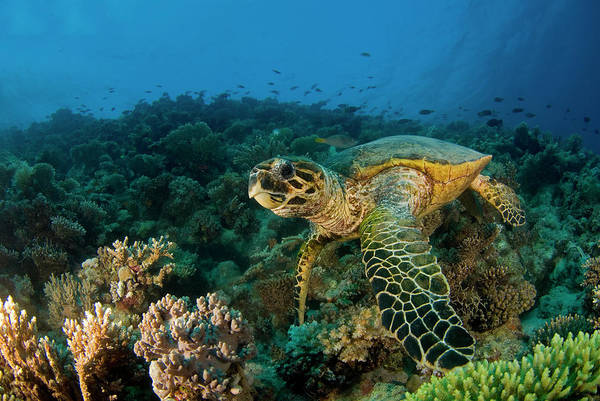 Hawksbill Turtle Photograph - Hawksbill Sea Turtle by Ilan Ben Tov