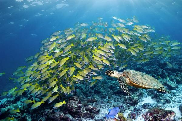 Hawksbill Turtle Photograph - Hawksbill Turtle And Blueline Snappers by Georgette Douwma