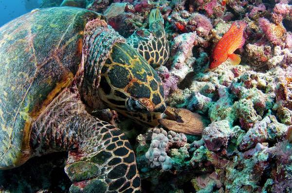 Hawksbill Turtle Photograph - Hawksbill Turtle Encouners An Angry Eel by Scubazoo
