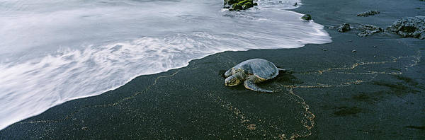 Hawksbill Turtle Photograph - Hawksbill Turtle Endangered Species by Animal Images