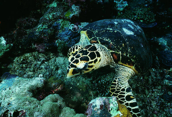 Hawksbill Turtle Photograph - Hawksbill Turtle by Matthew Oldfield/science Photo Library