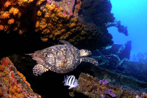 Hawksbill Turtle Photograph - Hawksbill Turtle On Shipwreck by Armando F. Jenik