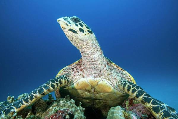Hawksbill Turtle Photograph - Hawksbill Turtle Resting On Reef by Scubazoo/science Photo Library
