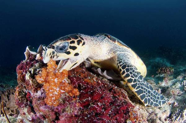 Hawksbill Turtle Photograph - Hawksbill Turtle by Scubazoo/science Photo Library