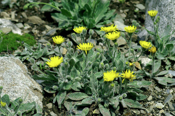 Wall Art - Photograph - Hawkweed Flowers (hieracium Lawsonii) by Brian Gadsby/science Photo Library