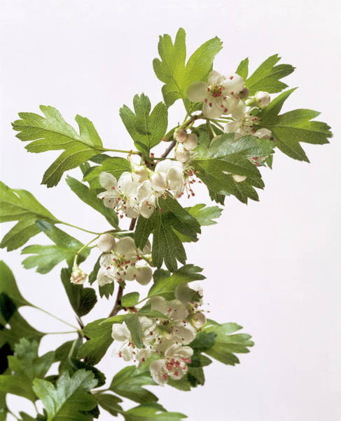 Tonic Photograph - Hawthorn Flowers by Sheila Terry/science Photo Library