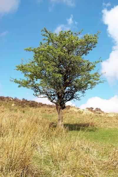 Moorland Photograph - Hawthorn Tree by David Aubrey