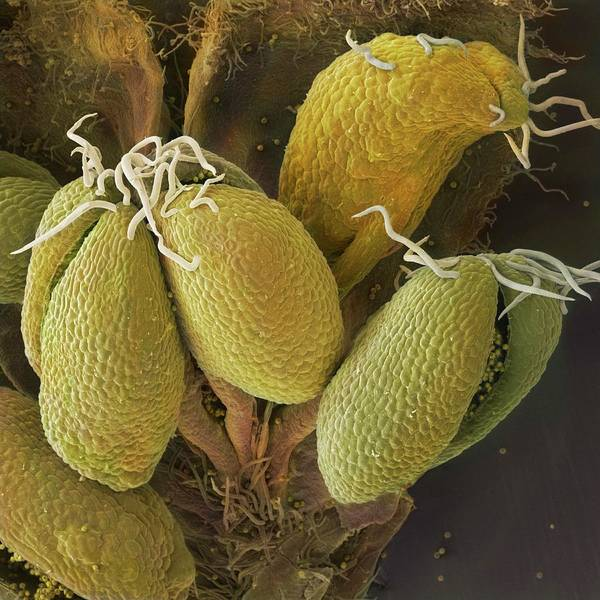 Anther Wall Art - Photograph - Hazel Catkin Anthers With Pollen by Power And Syred/science Photo Library