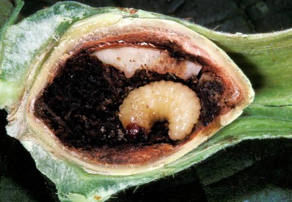 Larva Wall Art - Photograph - Hazelnut Larva Inside A Hazelnut by Pascal Goetgheluck/science Photo Library