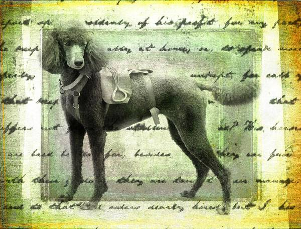 Photograph - He Was My Favorite Poodle by Alice Gipson