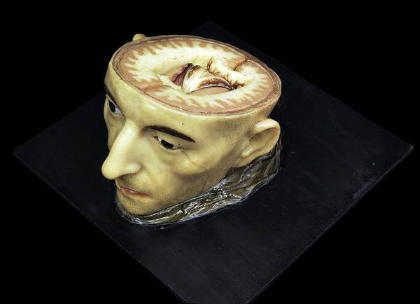 Anatomical Model Wall Art - Photograph - Head And Brain Model by Javier Trueba/msf