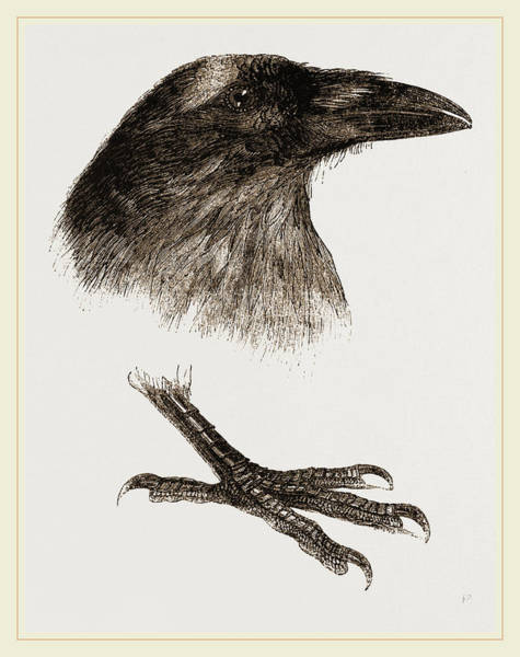 Raven Drawing - Head And Foot Of Raven by Litz Collection
