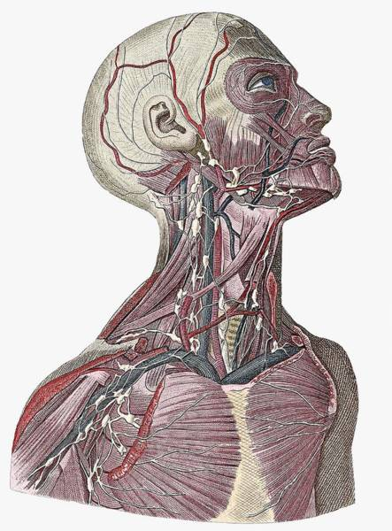 Encyclopedia Wall Art - Photograph - Head And Neck Blood Vessels by Sheila Terry/science Photo Library