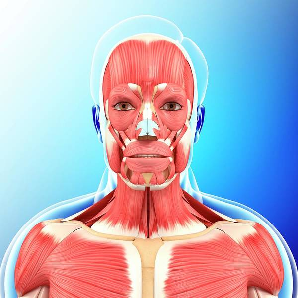 Wall Art - Photograph - Head And Neck Muscles by Pixologicstudio/science Photo Library