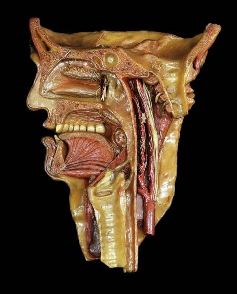 Anatomical Model Wall Art - Photograph - Head And Throat Model by Javier Trueba/msf