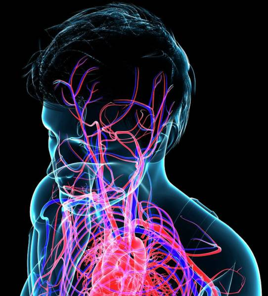 Wall Art - Photograph - Head Circulatory System by Pixologicstudio/science Photo Library