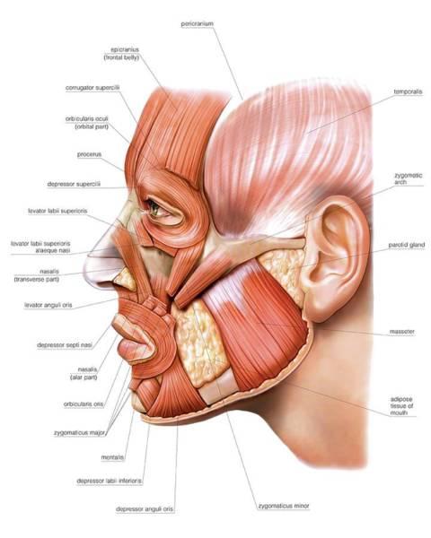 Atlas Of Human Anatomy Wall Art - Photograph - Head Muscles by Asklepios Medical Atlas