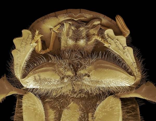 Arthropods Wall Art - Photograph - Head Of A Dung Beetle. Sem by Steve Gschmeissner