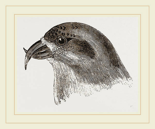 Crossbill Drawing - Head Of Crossbill by Litz Collection