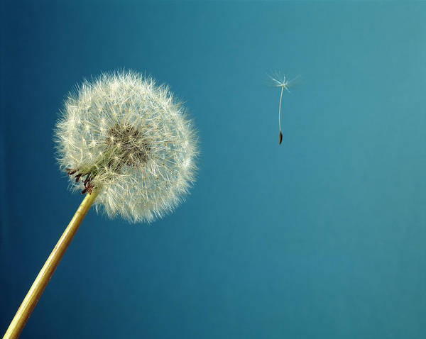 Taraxacum Photograph - Head Of Dandelion by Adam Hart-davis/science Photo Library