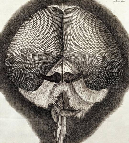 1600s Wall Art - Photograph - Head Of Fly by Natural History Museum, London/science Photo Library