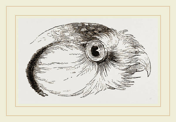 Hawk Drawing - Head Of Hawk Owl by Litz Collection