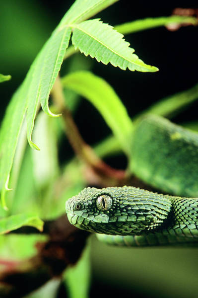 Wall Art - Photograph - Head Of Rough-scaled Bush Viper Or Leaf by Animal Images