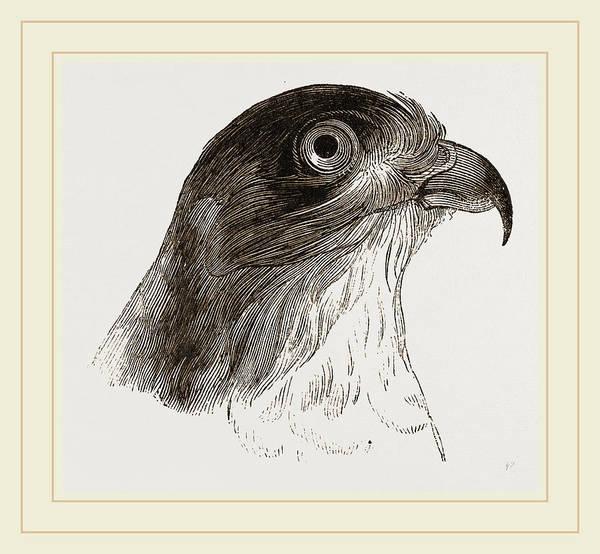 Hawk Drawing - Head Of Sparrow-hawk by Litz Collection