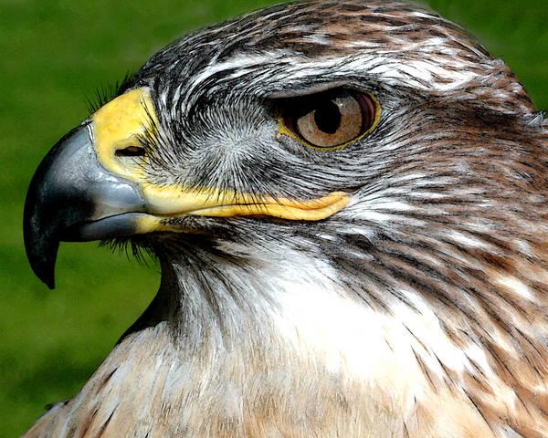 Photograph - Head Portrait Of A Eagle by Cliff Norton