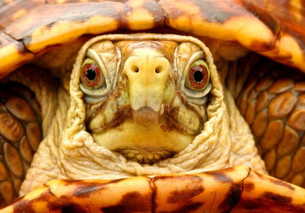 Tortoise Shell Photograph - Head Shot by Jean Noren