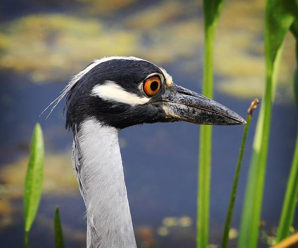 Brazos Bend State Park Wall Art - Photograph - head shot - Yellow crowned Night Heron by TN Fairey